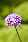 Verbena bonariensis flower in herbaceous border in country garden, UK