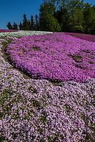 Hitsujiyama Moss Phlox Shibazakura is a hit in Japan during springtime, and one of the best places to view moss phlox in the Tokyo area this is at Hitsujiyama Park in Chichibu.  Pink, white and purple flowers carpet the undulating hills in Chichibu anually from mid April through early May.  Shibazakura moss phlox, flowers carpets the ground making a huge floral carpet.  Hitsujiyama incorporates the  landscape of Chichibu as a backdrop.