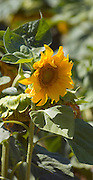 Blooming sunflower plant.