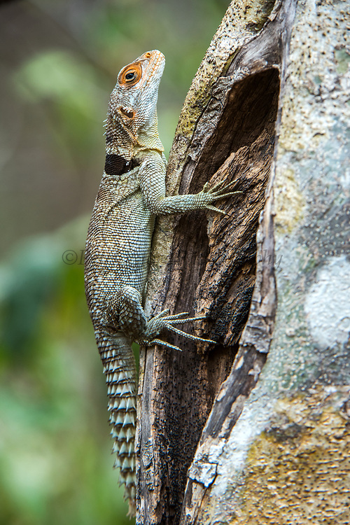 Madagascan collared iguana (Oplurus cuvieri)<br /> Ampijoroa<br /> Ankarafantsika Nature Reserve<br /> West Madagascar<br /> MADAGASCAR<br /> ENDEMIC