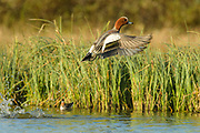 The Wigeon is a bird of open wetlands, such as wet grassland or marshes with some taller vegetation, and usually feeds by dabbling for plant food or grazing, which it does very readily.