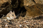 A deer mouse (Peromyscus maniculatus) eating a seed under a juniper tree at night. John Day Fossil Beds National Monument, Clarno Unit. Oregon.
