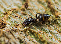Crematogaster Sp. - Acrobat ant.  Photographed in Lady Lake FL USA in a Sycamore tree.