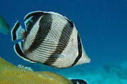 Banded Butterflyfish (Chaetodon striatus)<br /> BONAIRE, Netherlands Antilles, Caribbean<br /> HABITAT & DISTRIBUTION: Reef tops often in pairs. Florida, Bahamas, Caribbean, Gulf of Mexico & Bermuda