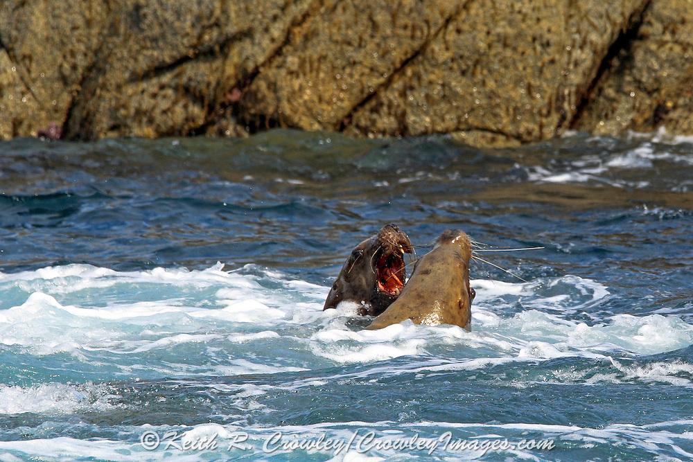Two male Stellars sea lions squabble in coastal Alaska.