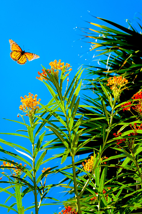 To the eye, a butterfly is an ornament set against an azure sky, enveloped in the warmth of a summer afternoon. In truth, a monarch is a grand pollinator and faces many challenges along its migratory path, exhibiting the most highly evolved migration pattern of any known butterfly, moth or insect.
