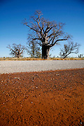 A boab tree in the Savanah Highway. The Kimberleys regions has lots of this kind of tree, which are from the same family of the african baobab tree.