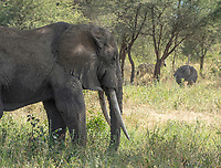 African Elephant, Loxodonta africana, in Tarangire National Park, Tanzania. In the background are a female Common Ostrich, Struthio camelus, and a Grant's Zebra, Equus quagga boehmi.