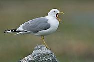 Mew Gull - Larus canus - breeding adult