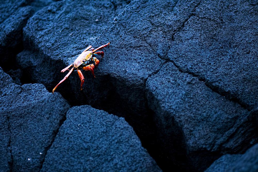 Sally lightfoot crab (Grapsus grapsus) crosses a crack from one volcanic rock to another, Fernandina Island, Galapagos, Ecuador.