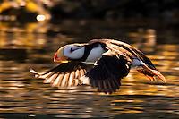 Horned puffin takes off in golden, sunset light in Kodiak, Alaska