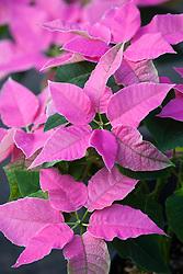 Euphorbia pulcherrima 'Princettia Pink' - Poinsettia