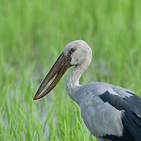 The Asian openbill or Asian openbill stork (Anastomus oscitans) is a large wading bird in the stork family Ciconiidae. This distinctive stork is found mainly in the Indian subcontinent and Southeast Asia. It is greyish or white with glossy black wings and tail and the adults have a gap between the arched upper mandible and recurved lower mandible. Young birds are born without this gap which is thought to be an adaptation that aids in the handling of snails, their main prey.