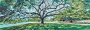 A majestic monkeypod tree spread over Moanalua Gardens in Honolulu, HI