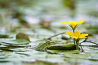 Frog in the water covered with yellow floating heart (Nymphoides peltata) in Hortobagy National Park, Hungary