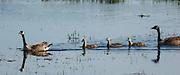 USA, Oregon, Baskett Slough National Wildlife Refuge, Canada Goose (Branta canadensis) swimming with its goslings.