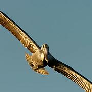 Brown Pelican (Pelecanus occidentalis) In flight. Near Boca Grande, Florida.