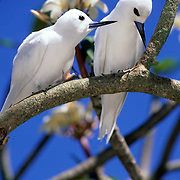 White or Fairy Tern, (Gygis alba) Pair of adults. Midway Island.Hawaii.
