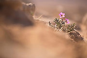 flowering Musk storksbill (Erodium moschatum) flowers. Photographed in Israel in February