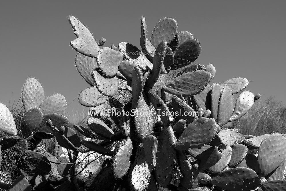 Cactus - opuntia - A Tzabar Israeli symbol in Black and White