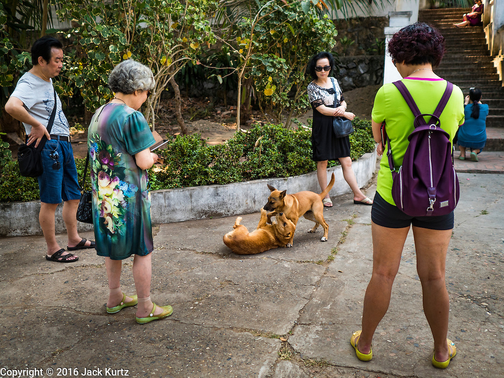 """13 MARCH 2016 - LUANG PRABANG, LAOS: Chinese tourists watch dogs fight for dominance in a temple in Luang Prabang. Luang Prabang was named a UNESCO World Heritage Site in 1995. The move saved the city's colonial architecture but the explosion of mass tourism has taken a toll on the city's soul. According to one recent study, a small plot of land that sold for $8,000 three years ago now goes for $120,000. Many longtime residents are selling their homes and moving to small developments around the city. The old homes are then converted to guesthouses, restaurants and spas. The city is famous for the morning """"tak bat,"""" or monks' morning alms rounds. Every morning hundreds of Buddhist monks come out before dawn and walk in a silent procession through the city accepting alms from residents. Now, most of the people presenting alms to the monks are tourists, since so many Lao people have moved outside of the city center. About 50,000 people are thought to live in the Luang Prabang area, the city received more than 530,000 tourists in 2014.    PHOTO BY JACK KURTZ"""