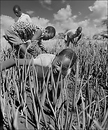 Young boys weeding the field crops - West Nile, Moyo District, Uganda.