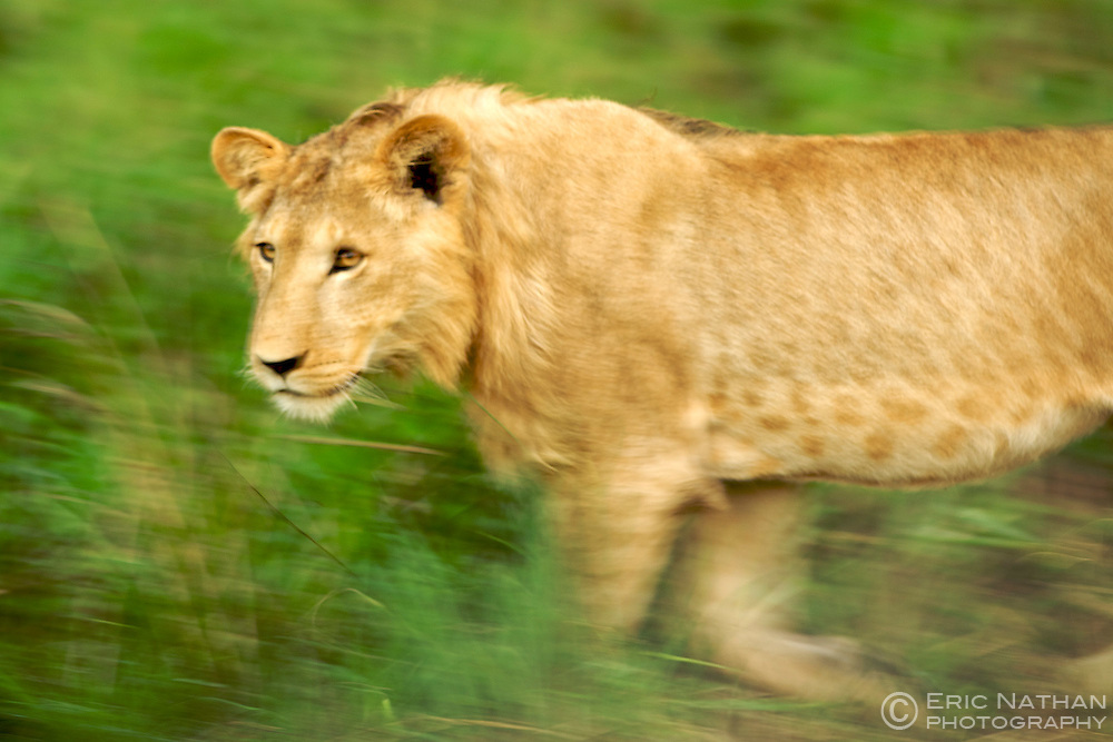A lion in Kidepo Valley National Park in northern Uganda.