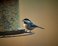 Black-capped Chickadee. Image taken with a Nikon D5 camera and 600 mm f/4 lens (ISO 1600, 600 mm, f/4, 1/500 sec)