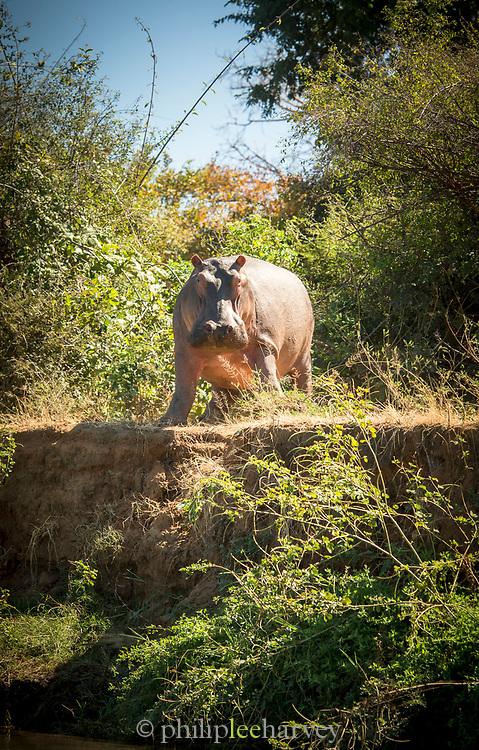 Hippopotamus standing on riverbank in Mana Pools National Park, Zambia