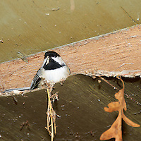 Black-capped Chickadee trying to keep warm. Image taken with a Nikon D300 and 18-200  mm VR lens (ISO 200, 200 mm, f/5.6, 1/60 sec, flash).