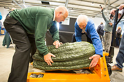 © Licensed to London News Pictures. 15/09/2017. Harrogate UK. Weighing has started this morning at the Giant Vegetable competition at this years Harrogate Autumn Flower Show in Yorkshire. Photo Credit: Andrew McCaren/LNP