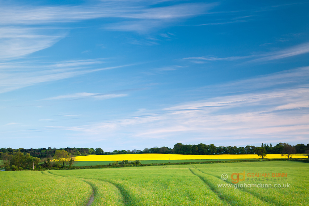 Bright spring crops below a deep blue sky, near Wiverton Downs, North Norfolk, East Anglia.