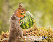 """Photographer Pictures Squirrel With water melon through his Kitchen Window<br /> <br /> photographer Geert Weggen took these images of a young red squirrel from his kitchen window,in Sweden,  """"It was great to watch the little squirrel playing around in and out of the water melon""""<br /> ©Exclusivepix Media"""