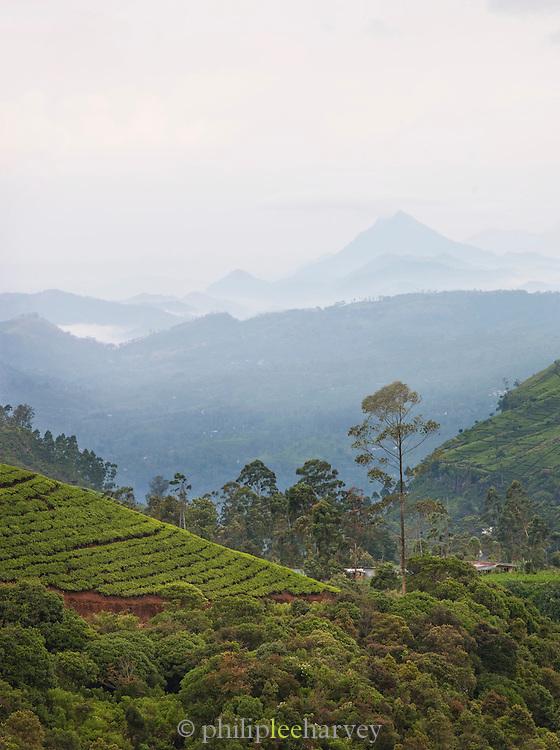 A tea plantation at Nuwara Eliya, Sri Lanka