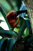 Als Allesfresser ernähren sich Löwenäffchen unter anderem auch von Insekten, die sie in der Vegetation aufspüren. | Feeding on a variety of small animals and plant parts the Golden Lion Tamarin regularly eats insects that they find in the vegetation.