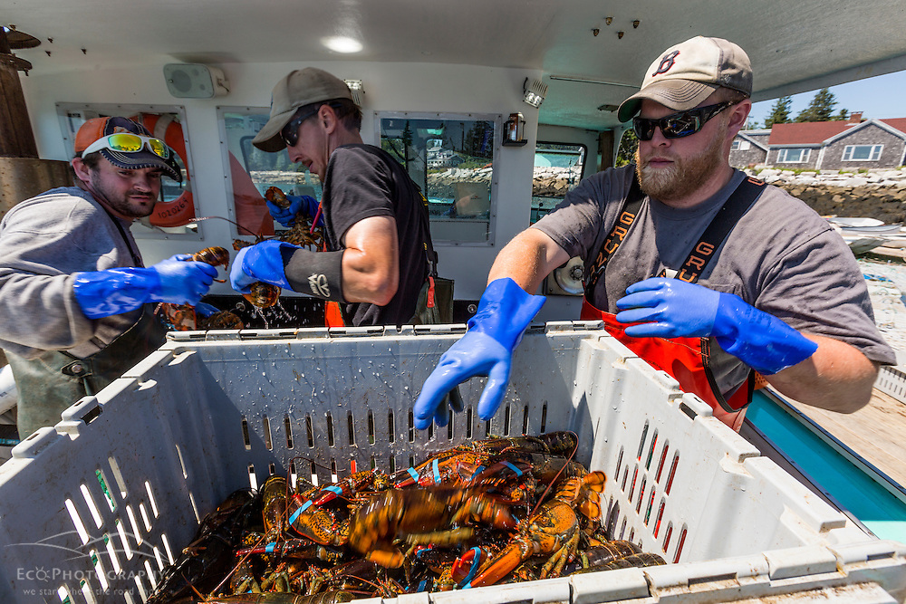 Left to right: Mark Cole, John Ware Jr., Captain Cole Baines unload lobster aboard 'Jackpot' at the Spruce Head Fisherman's Co-op in South Thomaston, Maine.