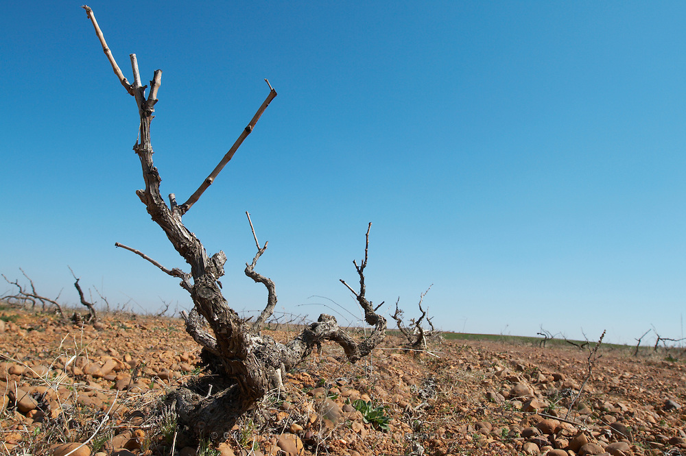 prieto picudo old vine planted ca 1920 Bodegas Margon , DO Tierra de Leon , Pajares de los Oteros spain castile and leon