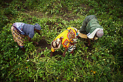 Mwanaidi Ramadhani (C) and Theresa Mathias (L) harvest sweet potatoes on a farm run by a local farmer's group in the village of Mwazonge, roughly 30km southwest of Mwanza, Tanzania on Sunday December 13, 2009..