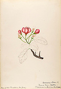 """Sketchbook No. 8 - Water-color sketches of plants of North America and Europe [graphic], Painted between June 1888 to September 1910 by Helen Sharp. Eighteen albums of water-color sketches by Helen Sharp of flowering plants and shrubs common to the United States, especially New England, as well as to Bermuda and parts of Europe, dated between June 1888 and Sept. 1910. Sketches in water-color and ink on paper (26 x 18 cm. or smaller) include botanical captions in Latin, along with Sharp""""s notes on the common name and physical characteristics of each plant, and location and date of drawing. There is also a table of contents at the front of each sketchbook. The first 16 albums contain sketches of plants common in New England, in towns of Massachusetts such as Nantucket, Taunton, Boston, No. Andover, Marblehead, Hingham, Gloucester; Maine (York, Sorrento); New Hampshire (Surrey), and Connecticut. Volume 17 contains sketches of plants made by the artist while traveling in Switzerland, Italy, England, and France, while v. 18 contains sketches of tropical fruits and flowers of Bermuda, completed during Sharp""""s visits of 1892, 1893, and 1903."""