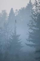 Great grey owl (Strix nebulosa) perched on tree in dawn mist, Bergslagen, Sweden.
