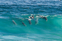 Bottlenosed Dolphins surfing a breaking wave, Tsitsikamma Marine Protected Area, Garden Route National Park, Eastern Cape, South Africa,