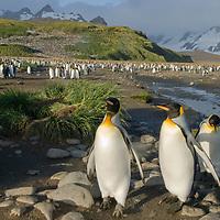 King Penguins depart a huge rookery at Salisbury Plain, South Georgia, Antarctica.