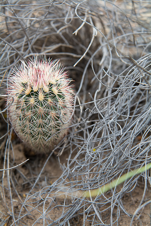 This cactus is native subspecies of the green-flowering hedgehog cactus and is common from mid-to-high elevations, favoring volcanic soils. The cylindrical stem of this cactus may branch to form large colonies. Rusty-red flowers with darker purplish maroon midstripes and greenish-yellow anthers grow from the middle third of the stem and do not open very wide. Found in the United States only in Brewster County in the Big Bend area of Texas, this one was found growing below the Chisos Mountains near the Rio Grande.