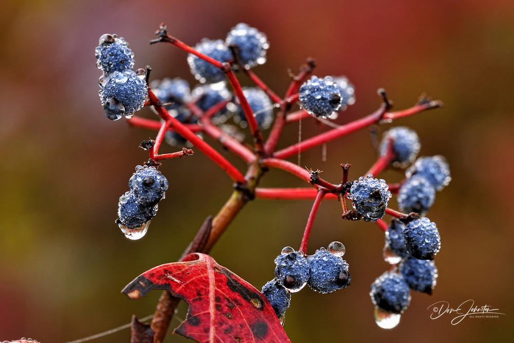Northern wild raisin (Vibernum casssinoides) Aged berries with raindrops, Greater Sudbury (Lively), Ontario, Canada