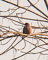 Mourning Dove (Zenaida macroura). Image taken with a Fuji X-T3 camera and 100-400 mm OIS telephoto zoom lens.