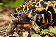 Flat-tailed Tortoise (Pyxis planicauda)<br /> CAPTIVE<br /> ENDEMIC TO MADAGASCAR<br /> IUCN STATUS: CRITICALLY ENDANGERED