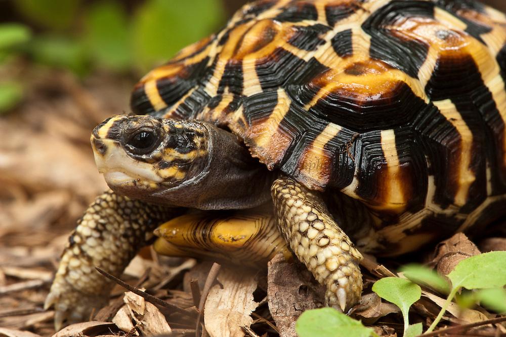 Flat-tailed Tortoise (Pyxis planicauda)<br /> CAPTIVE<br /> ENDEMIC TO MADAGASCAR<br /> IUCN STATUS: CRITICALLY ENDANGERED