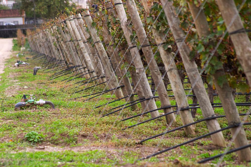 Vines with black irrigation tubing. Bacalhoa Vinhos, Azeitao, Portugal