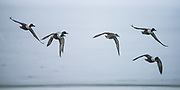 A group of northern shovelers wing their way into the Great Salt Lake to feed.