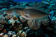 Naso brevirostris (Spotted unicornfish)